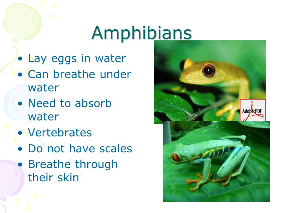 Amphibians Lay eggs in water Can breathe under water Need to absorb water Vertebrates Do not have scales Breathe through their skin