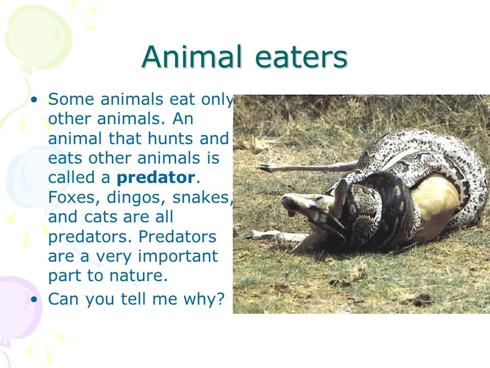 Animal eaters Some animals eat only other animals. An animal that hunts and eats other animals is called a predator. Foxes, dingos, snakes, and cats a