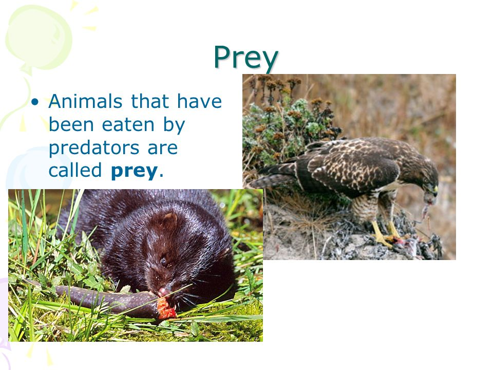 Prey Animals that have been eaten by predators are called prey.