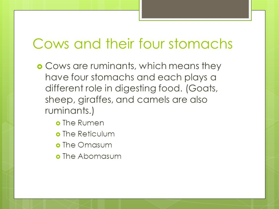 Cows and their four stomachs  Cows are ruminants, which means they have four stomachs and each plays a different role in digesting food. (Goats, shee