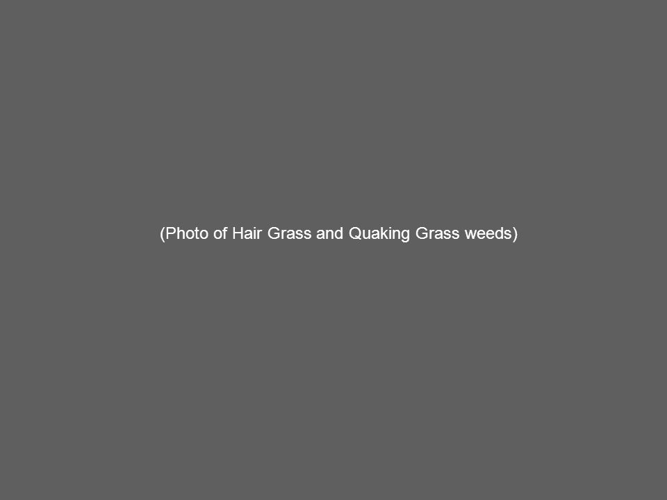 (Photo of Hair Grass and Quaking Grass weeds)