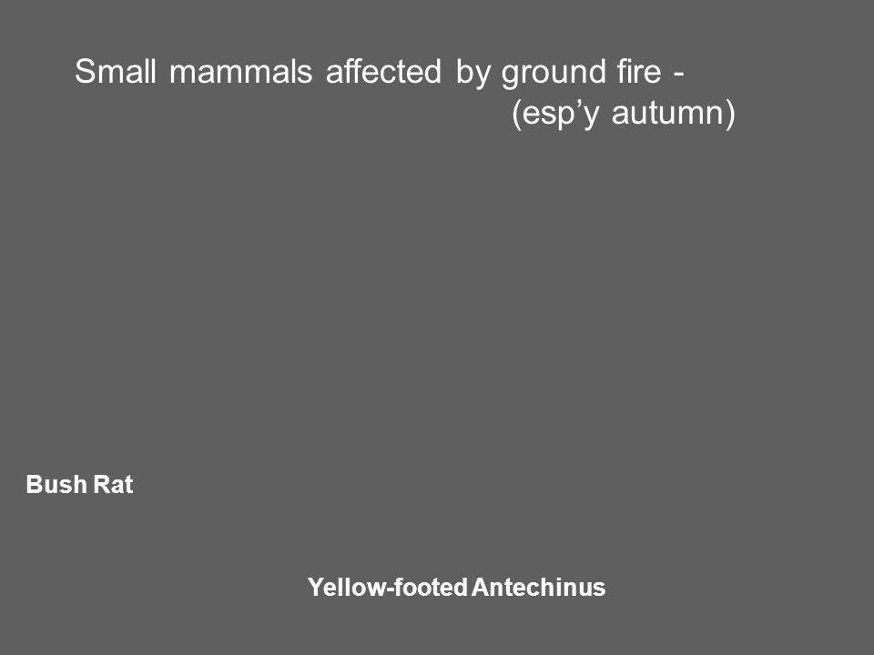 Small mammals affected by ground fire - (esp'y autumn) Bush Rat Yellow-footed Antechinus