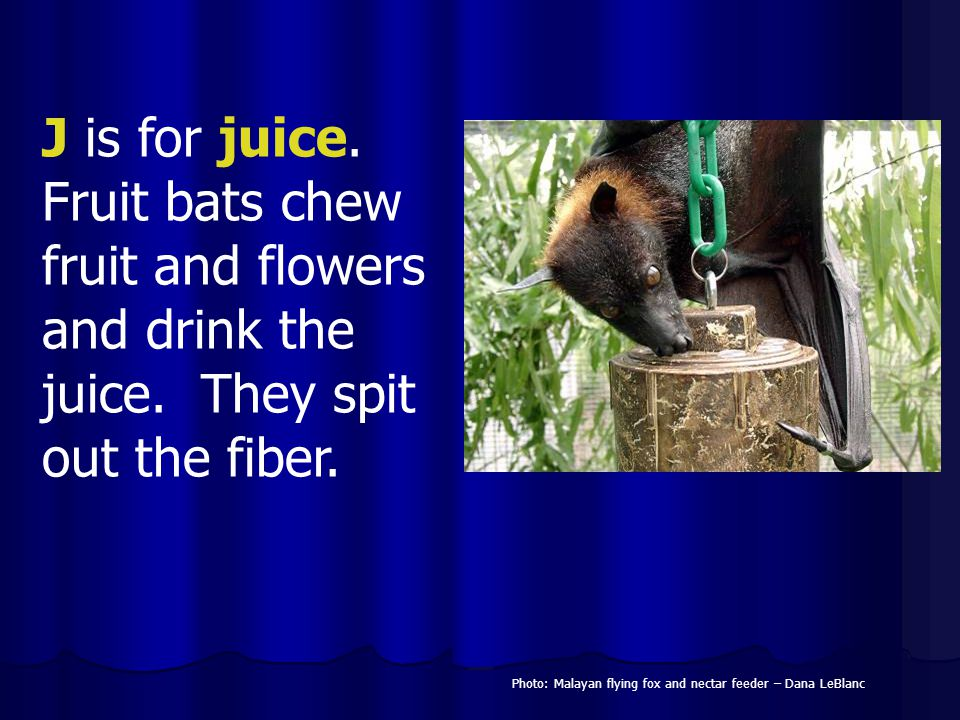 J is for juice. Fruit bats chew fruit and flowers and drink the juice. They spit out the fiber. Photo: Malayan flying fox and nectar feeder – Dana LeB