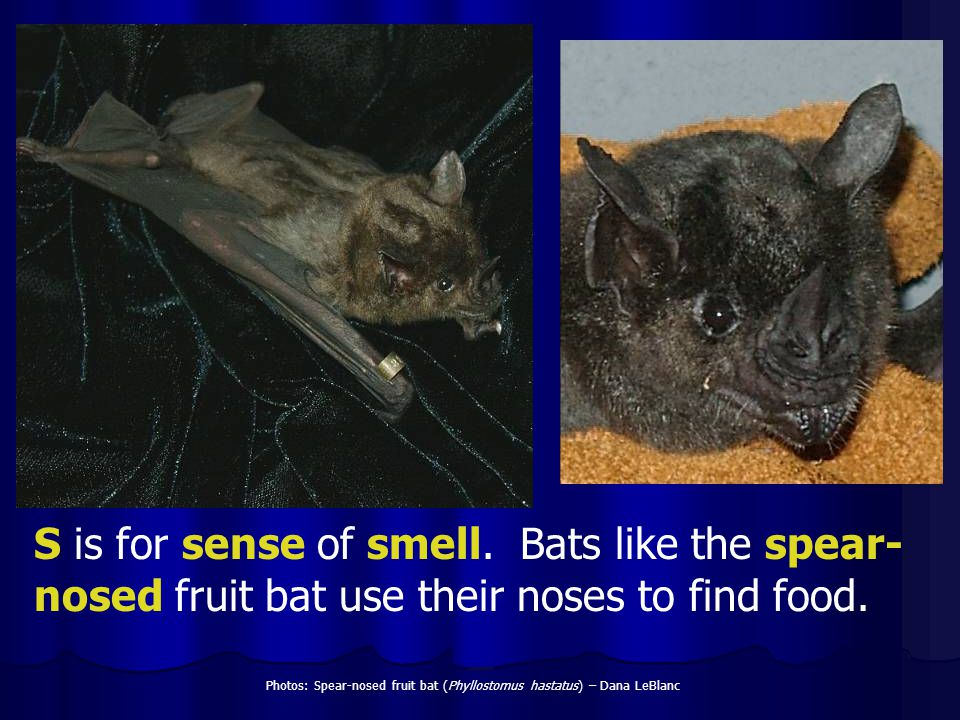 S is for sense of smell. Bats like the spear- nosed fruit bat use their noses to find food. Photos: Spear-nosed fruit bat (Phyllostomus hastatus) – Da