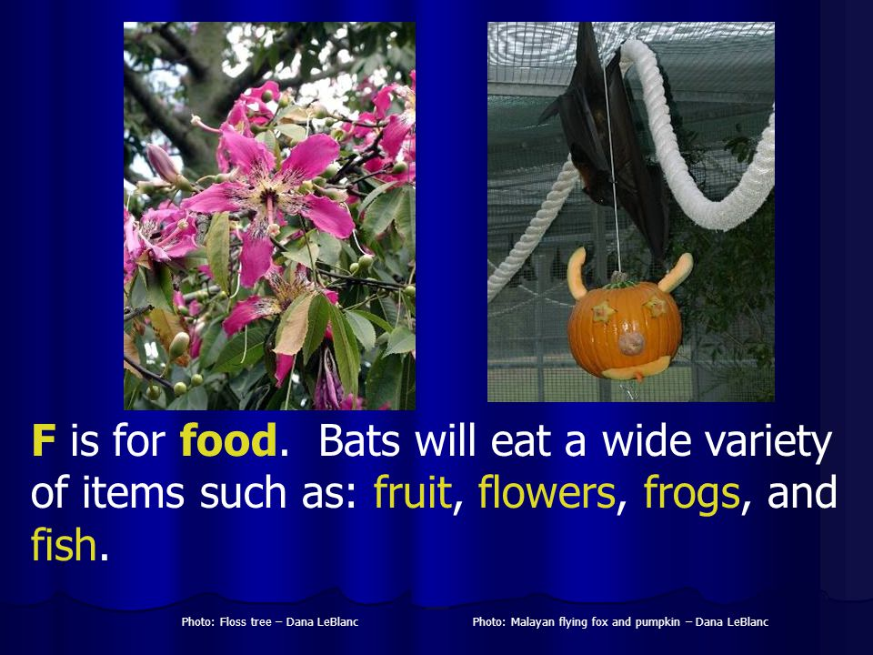 F is for food. Bats will eat a wide variety of items such as: fruit, flowers, frogs, and fish. Photo: Malayan flying fox and pumpkin – Dana LeBlancPho