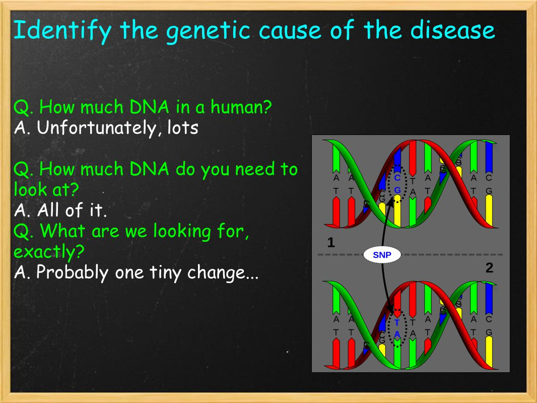 Identify the genetic cause of the disease Q. How much DNA in a human.