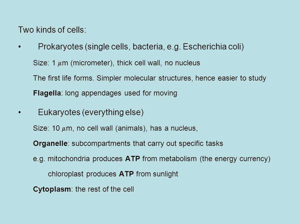 Two kinds of cells: Prokaryotes (single cells, bacteria, e.g.