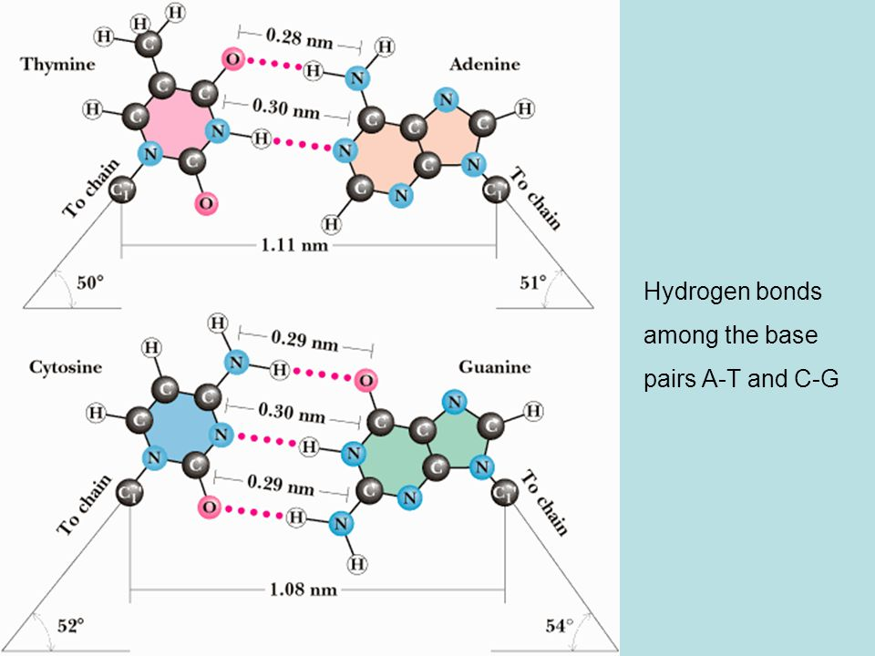 Hydrogen bonds among the base pairs A-T and C-G