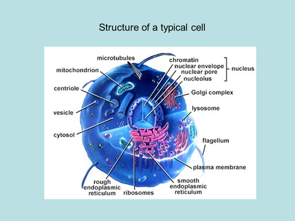 Structure of a typical cell