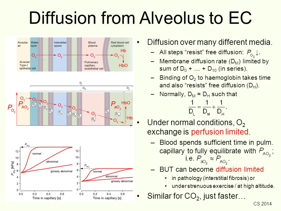 "CS 2014 Diffusion from Alveolus to EC Diffusion over many different media. –All steps ""resist"" free diffusion: ↓. –Membrane diffusion rate (D M ) limi"