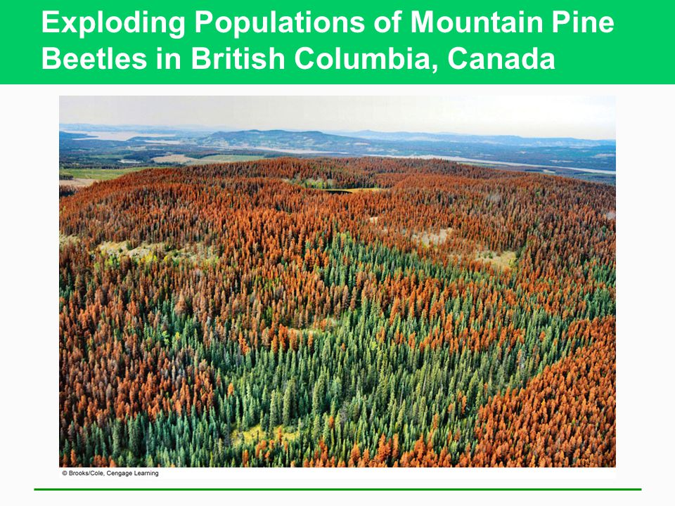 Exploding Populations of Mountain Pine Beetles in British Columbia, Canada