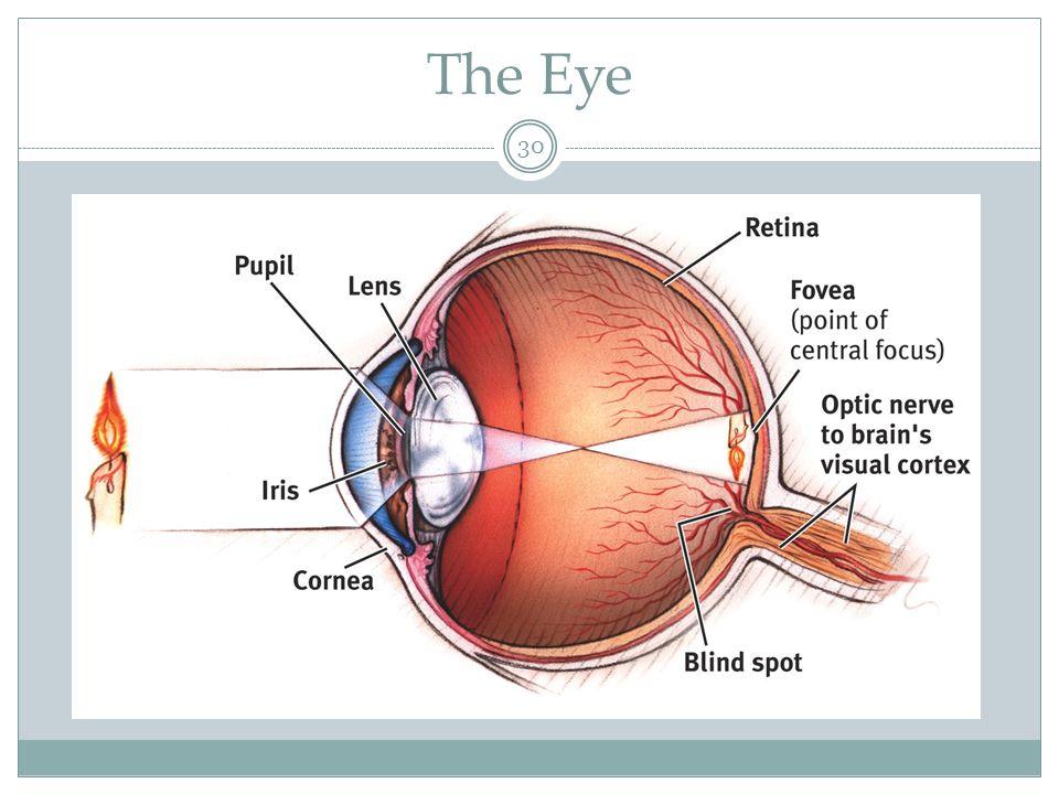 Parts of the eye 31 1.Cornea: Transparent tissue where light enters the eye.