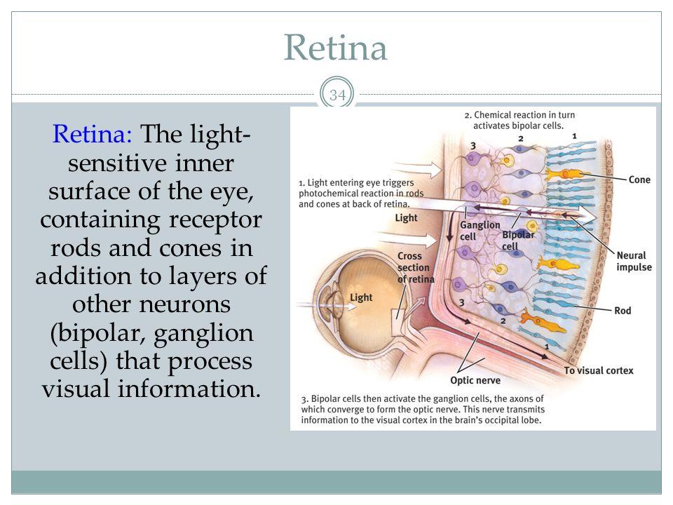 Optic Nerve, Blind Spot & Fovea 35 http://www.bergen.org Optic nerve: Carries neural impulses from the eye to the brain.