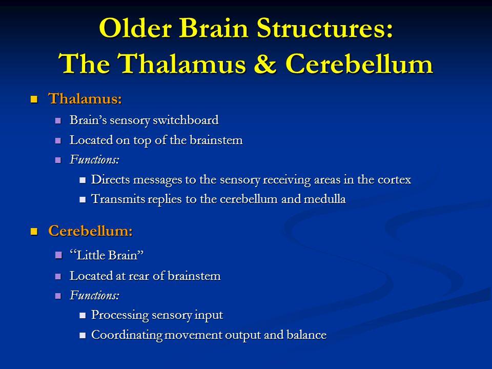 Older Brain Structures: The Thalamus & Cerebellum Thalamus: Thalamus: Brain's sensory switchboard Brain's sensory switchboard Located on top of the br