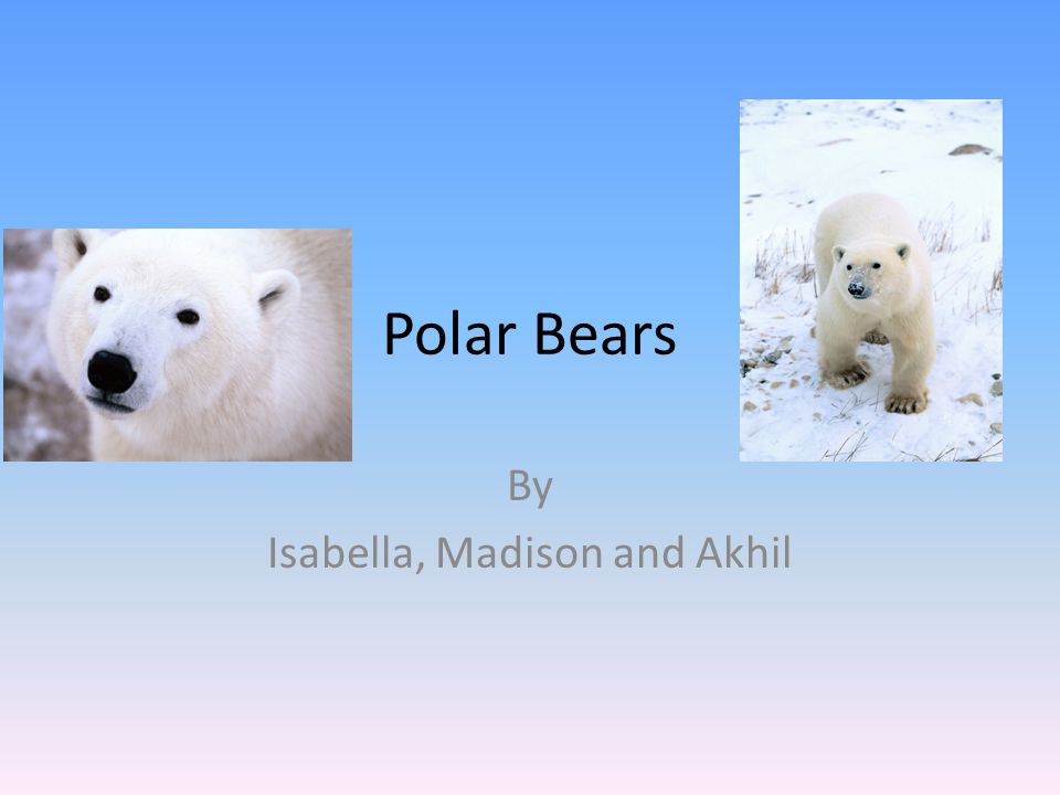 Polar Bears By Isabella, Madison and Akhil