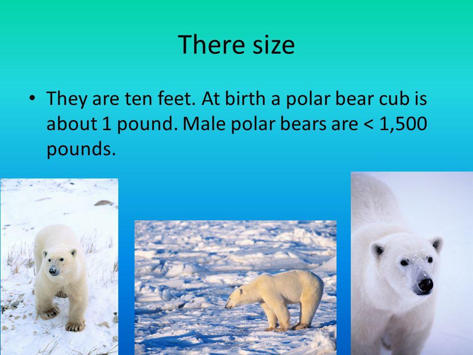 Ice/Water Polar bears swim like dogs.If the world gets too hot the polar bears habitat will melt.