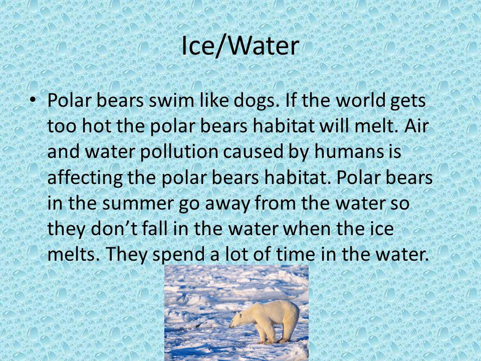 Ice/Water Polar bears swim like dogs. If the world gets too hot the polar bears habitat will melt.