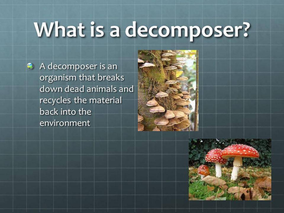 What is a decomposer? A decomposer is an organism that breaks down dead animals and recycles the material back into the environment