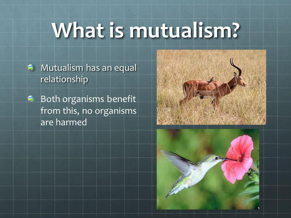 What is mutualism? Mutualism has an equal relationship Both organisms benefit from this, no organisms are harmed