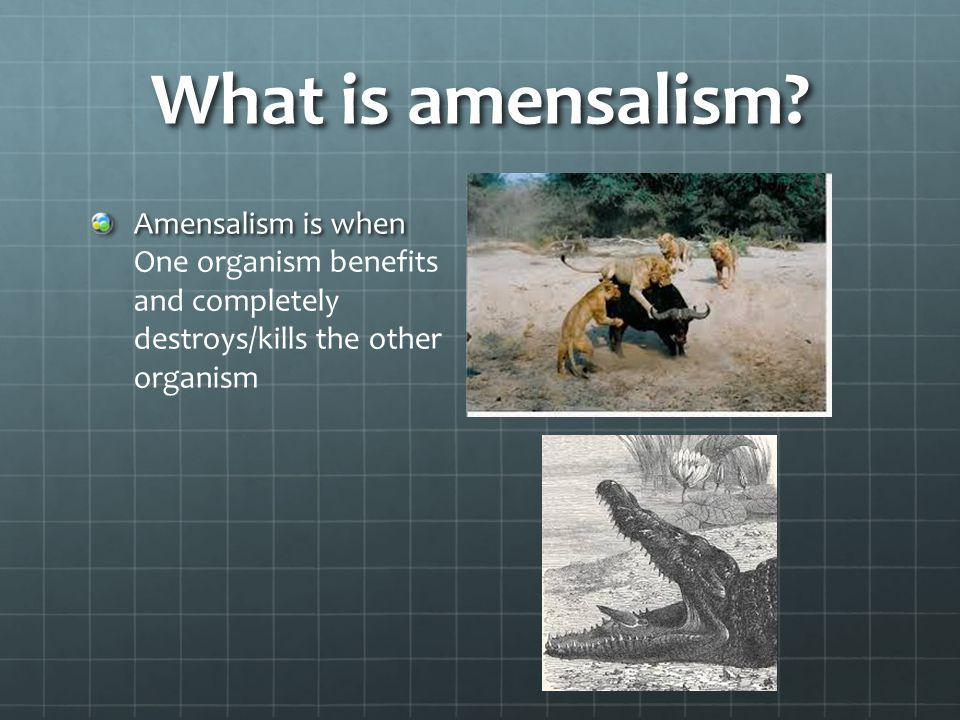 What is amensalism? Amensalism is when Amensalism is when One organism benefits and completely destroys/kills the other organism