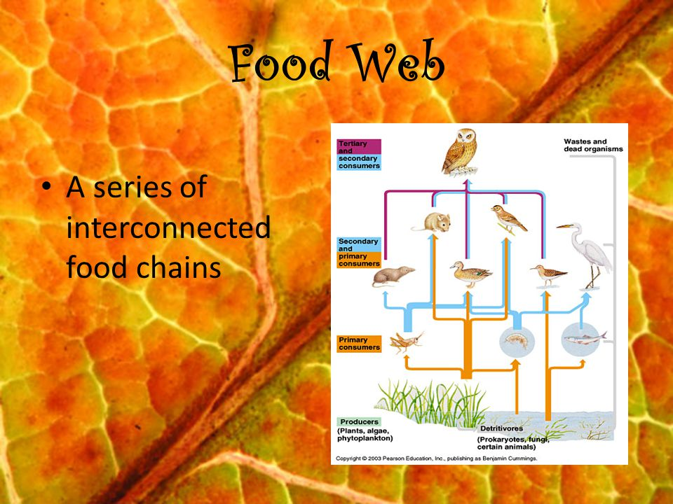 Food Web A series of interconnected food chains
