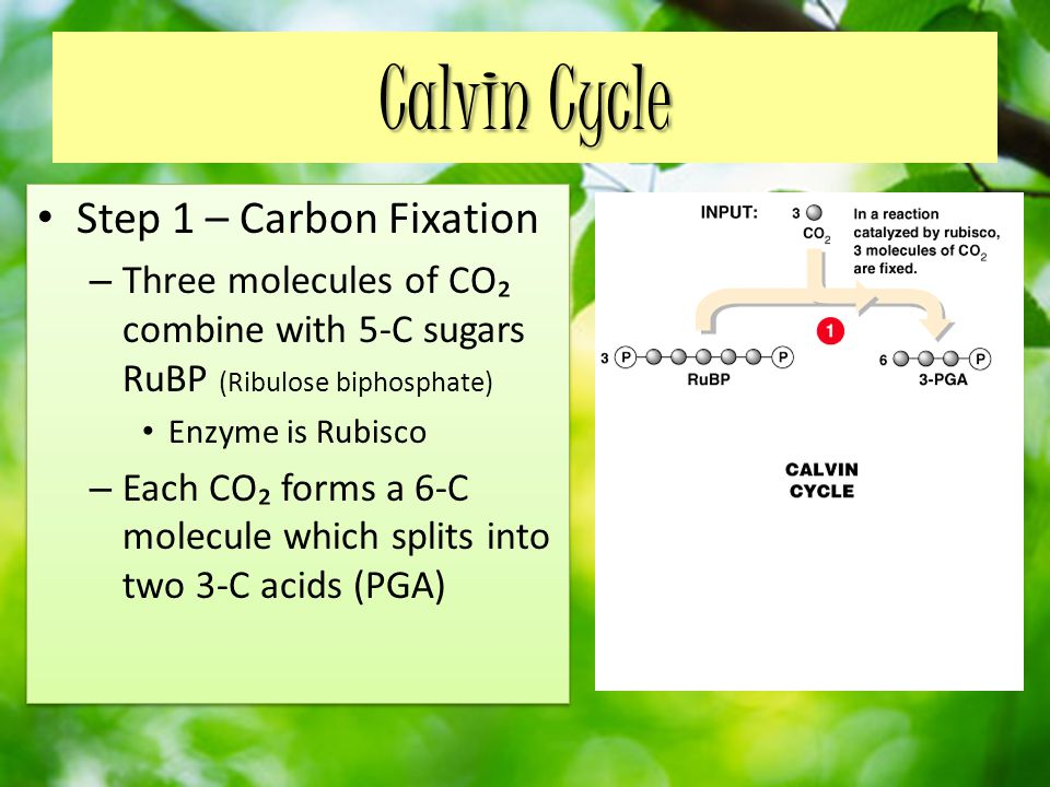 Calvin Cycle Step 1 – Carbon Fixation – Three molecules of CO₂ combine with 5-C sugars RuBP (Ribulose biphosphate) Enzyme is Rubisco – Each CO₂ forms a 6-C molecule which splits into two 3-C acids (PGA) Step 1 – Carbon Fixation – Three molecules of CO₂ combine with 5-C sugars RuBP (Ribulose biphosphate) Enzyme is Rubisco – Each CO₂ forms a 6-C molecule which splits into two 3-C acids (PGA)