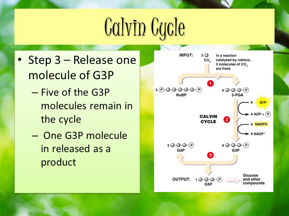 Calvin Cycle Step 3 – Release one molecule of G3P – Five of the G3P molecules remain in the cycle – One G3P molecule in released as a product Step 3 – Release one molecule of G3P – Five of the G3P molecules remain in the cycle – One G3P molecule in released as a product