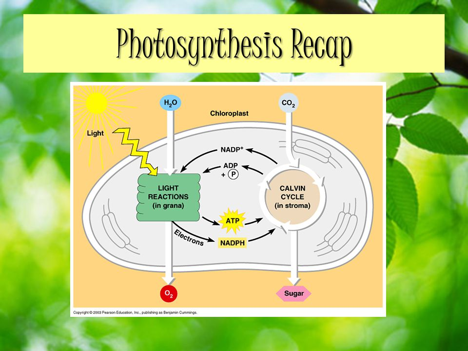 Photosynthesis Recap
