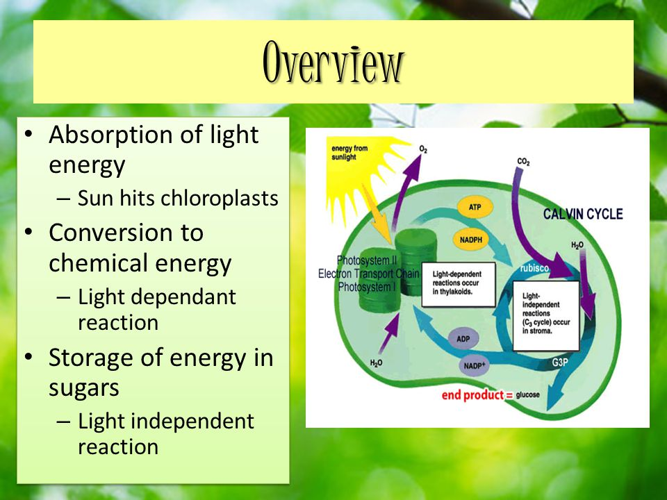 Overview Absorption of light energy – Sun hits chloroplasts Conversion to chemical energy – Light dependant reaction Storage of energy in sugars – Light independent reaction Absorption of light energy – Sun hits chloroplasts Conversion to chemical energy – Light dependant reaction Storage of energy in sugars – Light independent reaction