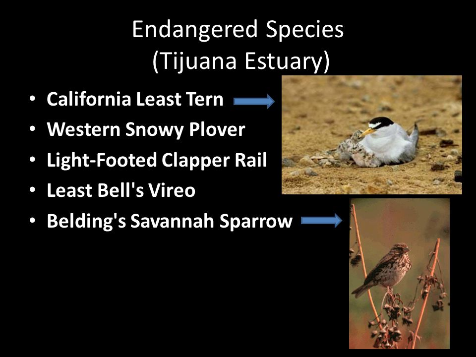 Endangered Species (Tijuana Estuary) California Least Tern Western Snowy Plover Light-Footed Clapper Rail Least Bell s Vireo Belding s Savannah Sparrow
