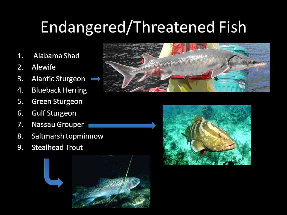 Endangered/Threatened Fish 1. Alabama Shad 2.Alewife 3.Alantic Sturgeon 4.Blueback Herring 5.Green Sturgeon 6.Gulf Sturgeon 7.Nassau Grouper 8.Saltmar