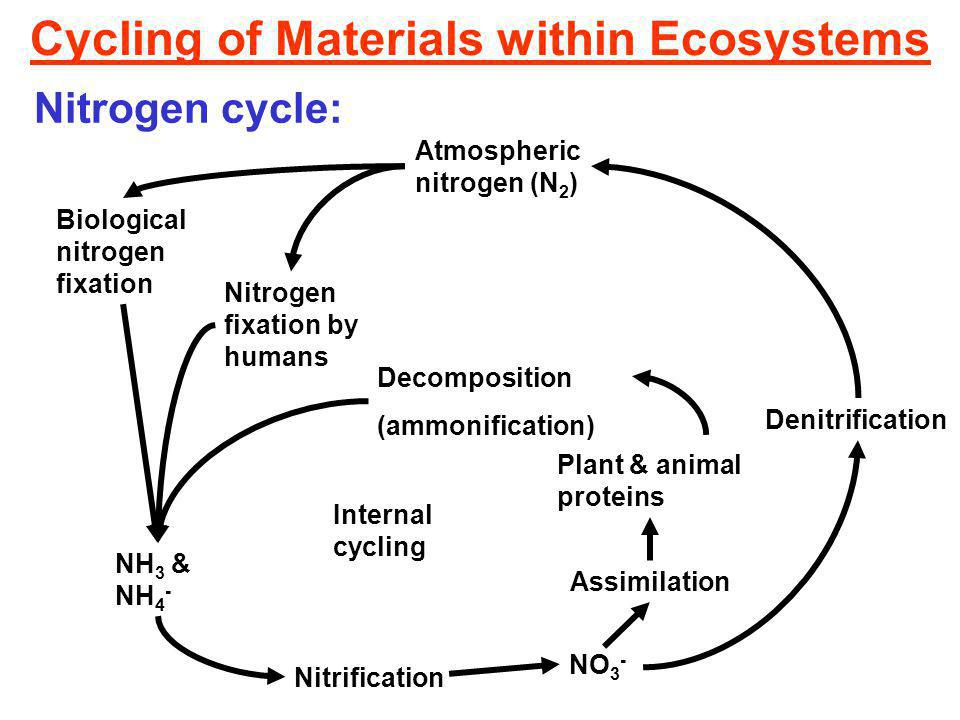Cycling of Materials within Ecosystems Nitrogen cycle: Atmospheric nitrogen (N 2 ) Nitrogen fixation by humans Biological nitrogen fixation Nitrification NH 3 & NH 4 - NO 3 - Assimilation Denitrification Plant & animal proteins Decomposition (ammonification) Internal cycling