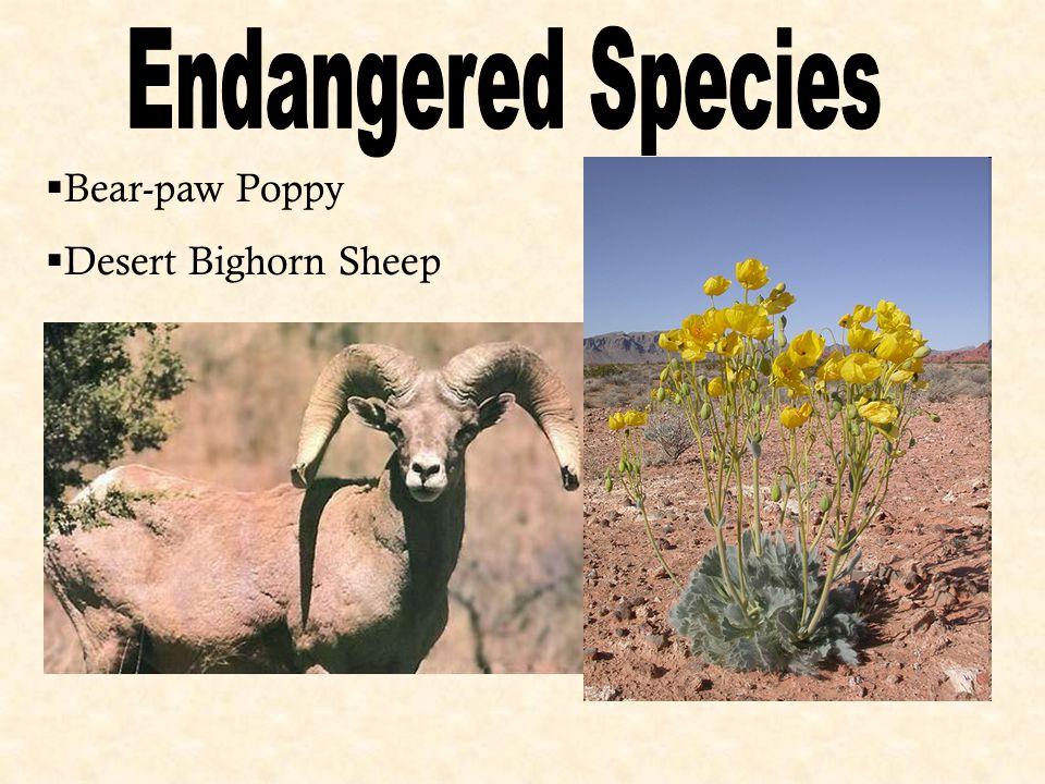 Bear-paw Poppy  Desert Bighorn Sheep