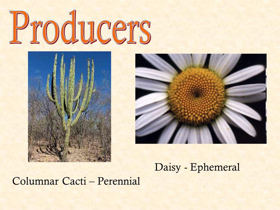 Columnar Cacti – Perennial Daisy - Ephemeral