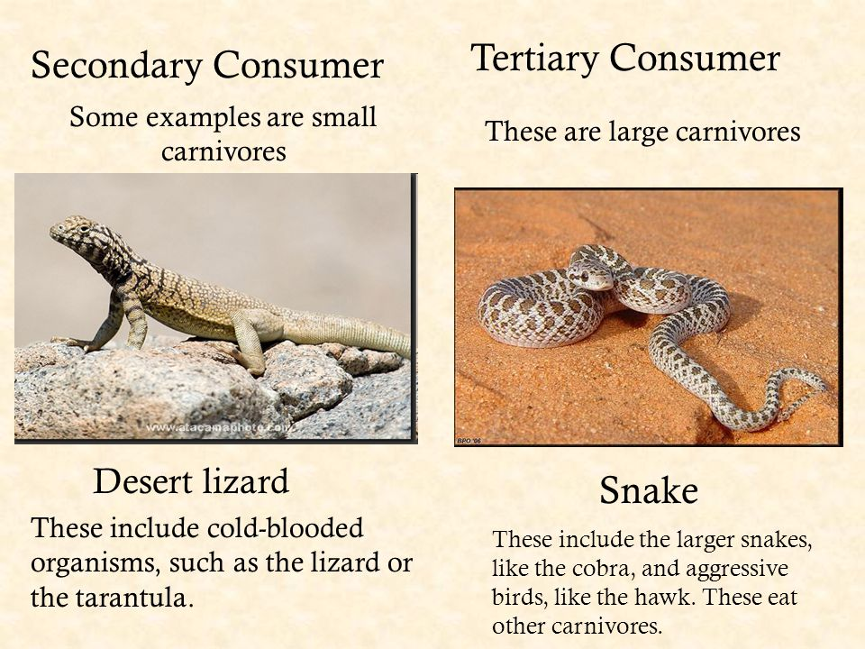 Secondary Consumer Some examples are small carnivores Tertiary Consumer These are large carnivores Snake Desert lizard These include the larger snakes