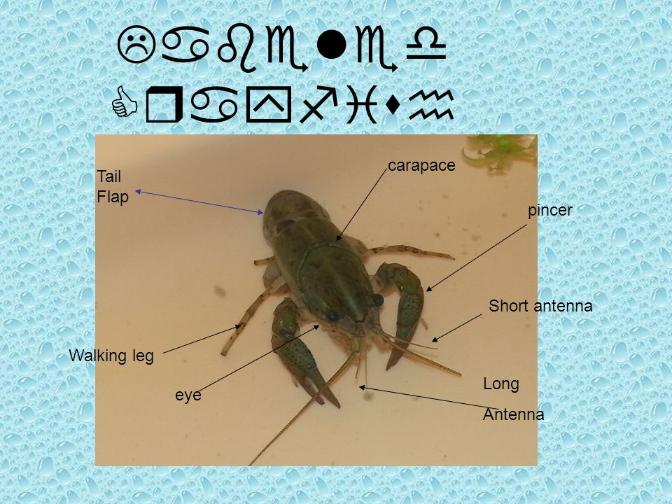 Labeled Crayfish Tail Flap Long Antenna pincer Walking leg carapace eye Short antenna