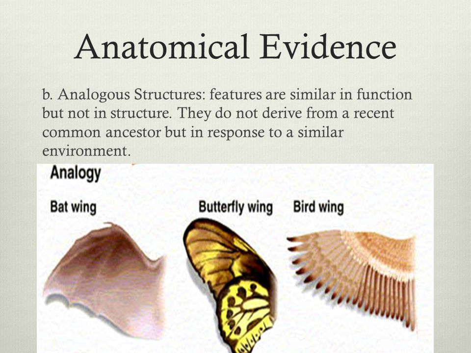 Anatomical Evidence b. Analogous Structures: features are similar in function but not in structure. They do not derive from a recent common ancestor b