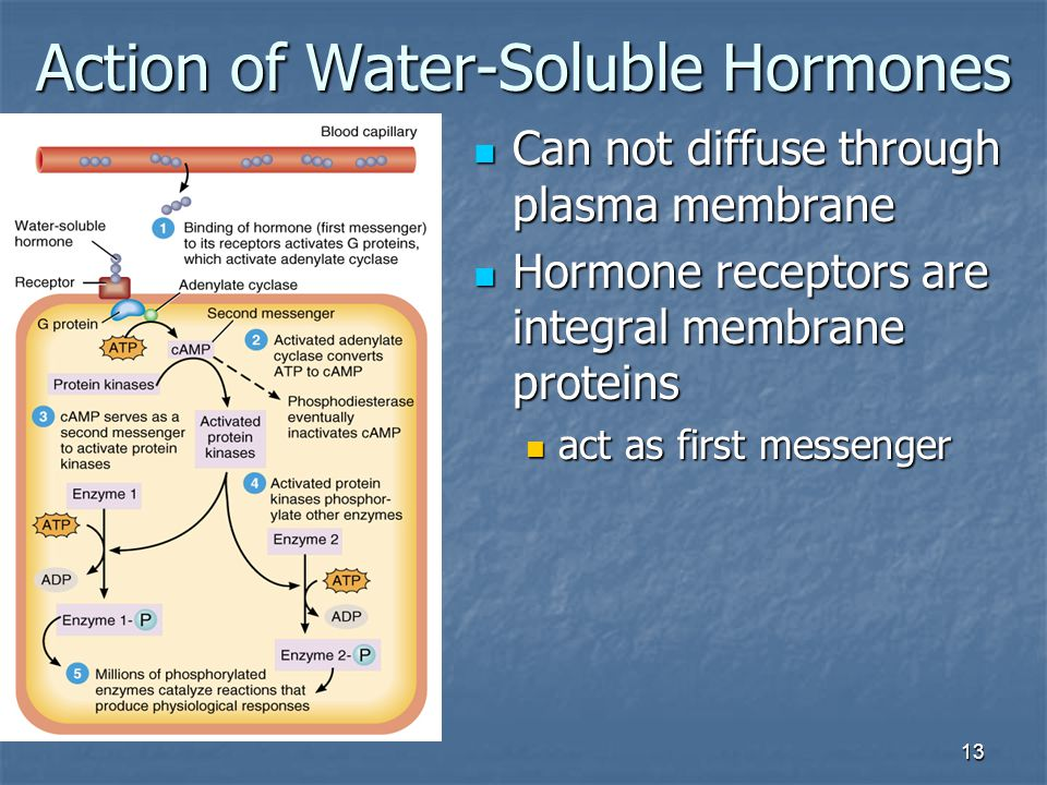 13 Action of Water-Soluble Hormones Can not diffuse through plasma membrane Can not diffuse through plasma membrane Hormone receptors are integral mem