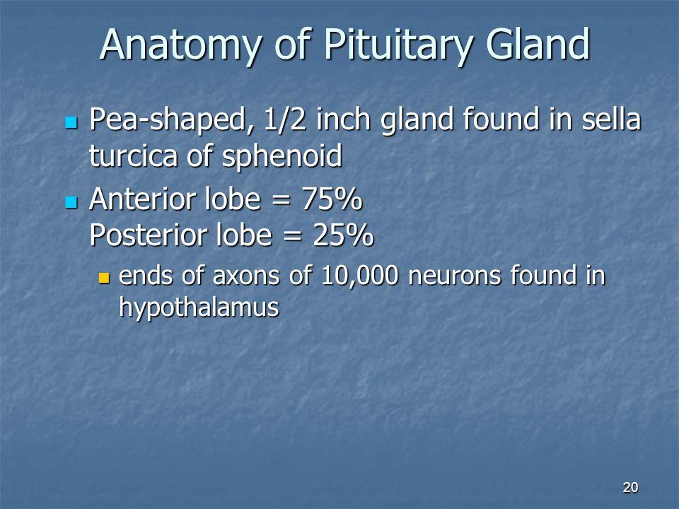 20 Pea-shaped, 1/2 inch gland found in sella turcica of sphenoid Pea-shaped, 1/2 inch gland found in sella turcica of sphenoid Anterior lobe = 75% Pos