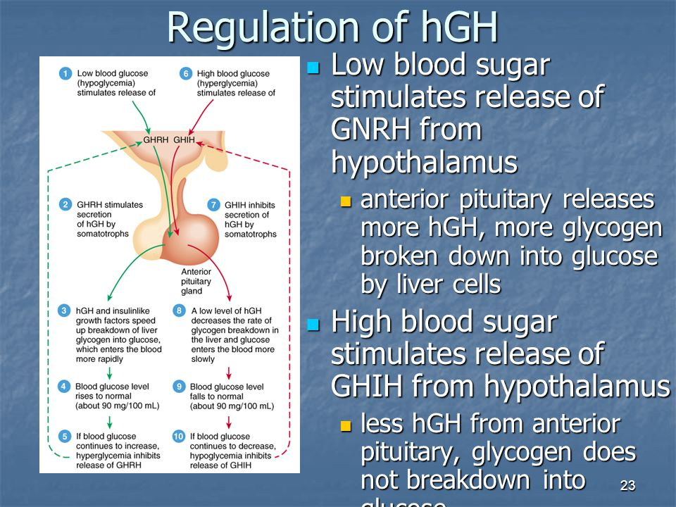 23 Regulation of hGH Low blood sugar stimulates release of GNRH from hypothalamus Low blood sugar stimulates release of GNRH from hypothalamus anterio