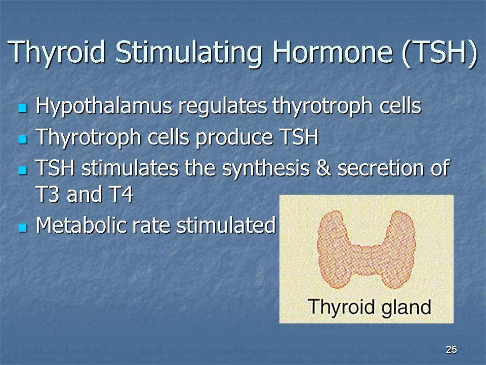 25 Thyroid Stimulating Hormone (TSH) Hypothalamus regulates thyrotroph cells Hypothalamus regulates thyrotroph cells Thyrotroph cells produce TSH Thyr