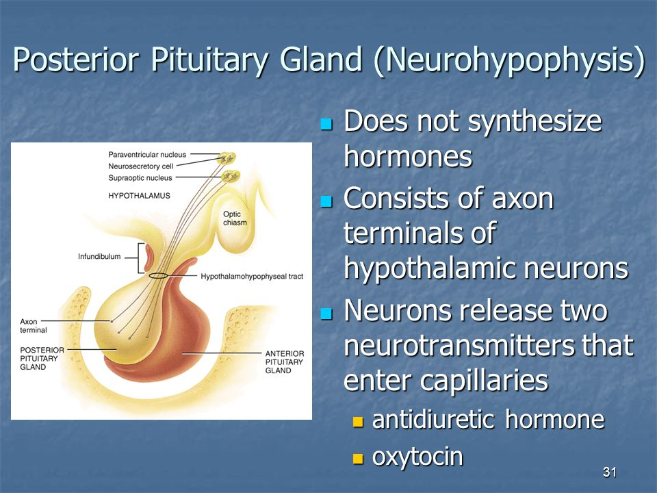 31 Posterior Pituitary Gland (Neurohypophysis) Does not synthesize hormones Does not synthesize hormones Consists of axon terminals of hypothalamic ne