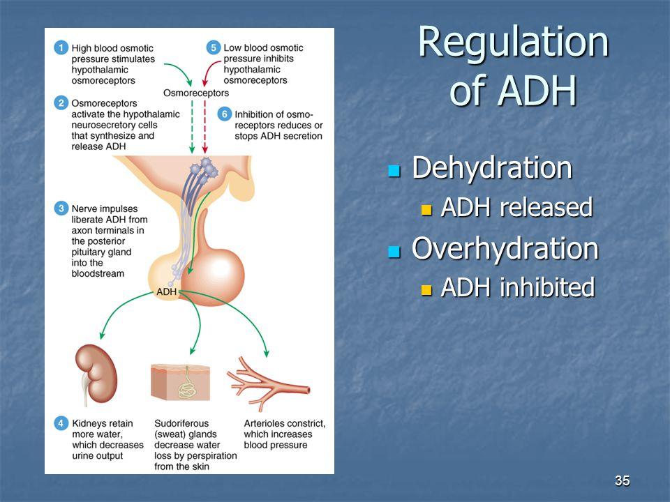 35 Regulation of ADH Dehydration Dehydration ADH released ADH released Overhydration Overhydration ADH inhibited ADH inhibited
