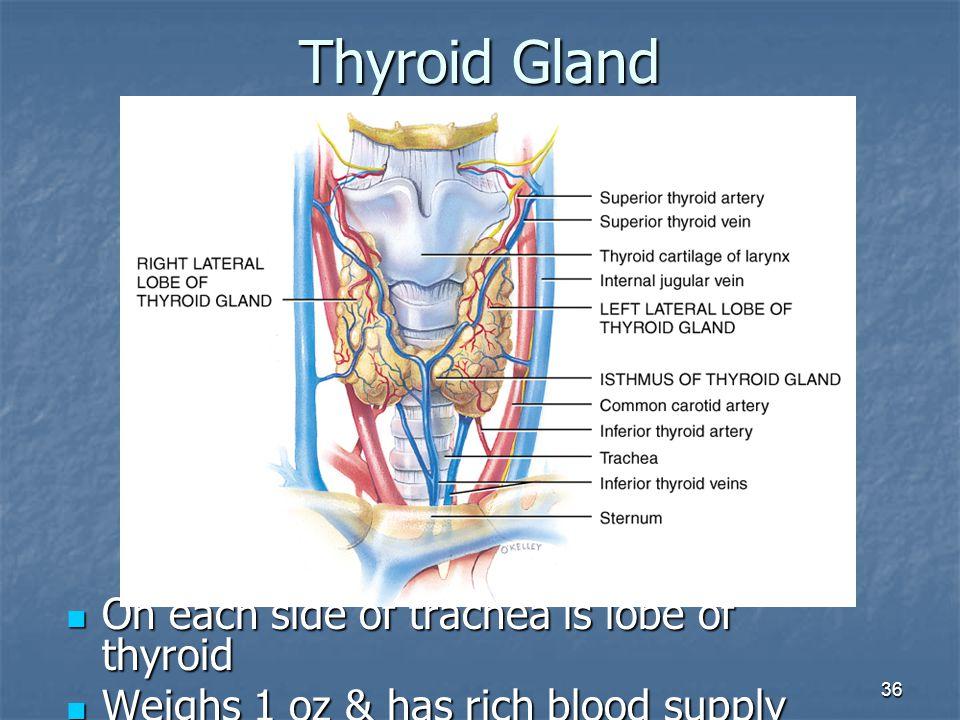 36 Thyroid Gland On each side of trachea is lobe of thyroid On each side of trachea is lobe of thyroid Weighs 1 oz & has rich blood supply Weighs 1 oz