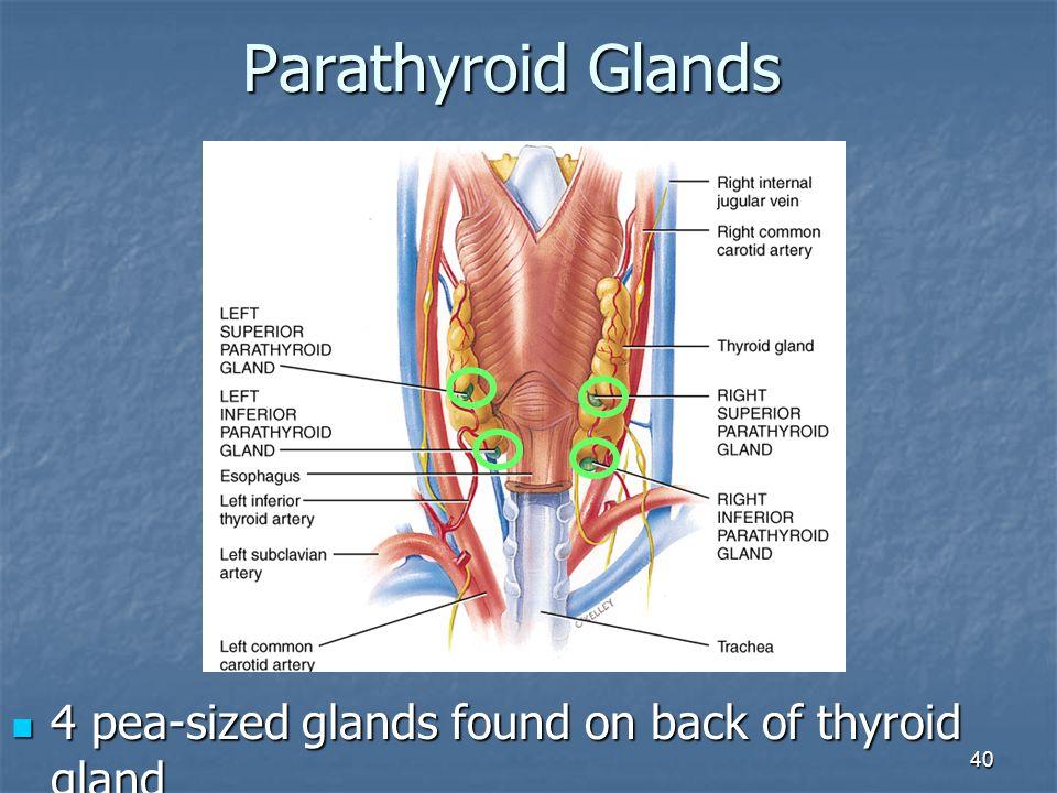 40 Parathyroid Glands 4 pea-sized glands found on back of thyroid gland 4 pea-sized glands found on back of thyroid gland
