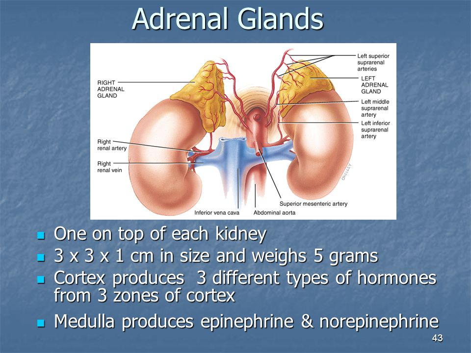 43 Adrenal Glands One on top of each kidney One on top of each kidney 3 x 3 x 1 cm in size and weighs 5 grams 3 x 3 x 1 cm in size and weighs 5 grams