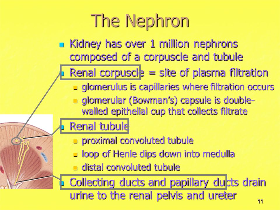 11 The Nephron Kidney has over 1 million nephrons composed of a corpuscle and tubule Kidney has over 1 million nephrons composed of a corpuscle and tubule Renal corpuscle = site of plasma filtration Renal corpuscle = site of plasma filtration glomerulus is capillaries where filtration occurs glomerulus is capillaries where filtration occurs glomerular (Bowman's) capsule is double- walled epithelial cup that collects filtrate glomerular (Bowman's) capsule is double- walled epithelial cup that collects filtrate Renal tubule Renal tubule proximal convoluted tubule proximal convoluted tubule loop of Henle dips down into medulla loop of Henle dips down into medulla distal convoluted tubule distal convoluted tubule Collecting ducts and papillary ducts drain urine to the renal pelvis and ureter Collecting ducts and papillary ducts drain urine to the renal pelvis and ureter
