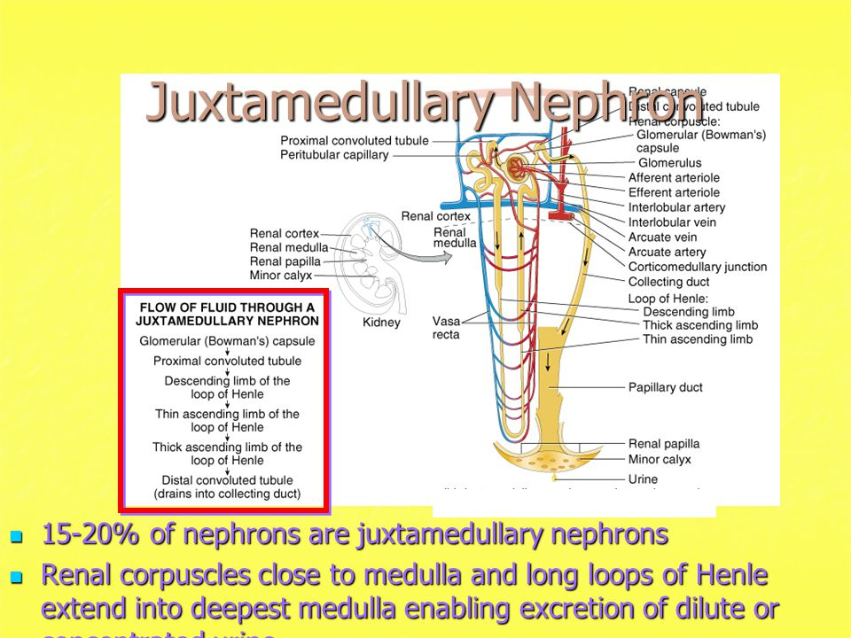 Juxtamedullary Nephron 15-20% of nephrons are juxtamedullary nephrons 15-20% of nephrons are juxtamedullary nephrons Renal corpuscles close to medulla and long loops of Henle extend into deepest medulla enabling excretion of dilute or concentrated urine Renal corpuscles close to medulla and long loops of Henle extend into deepest medulla enabling excretion of dilute or concentrated urine