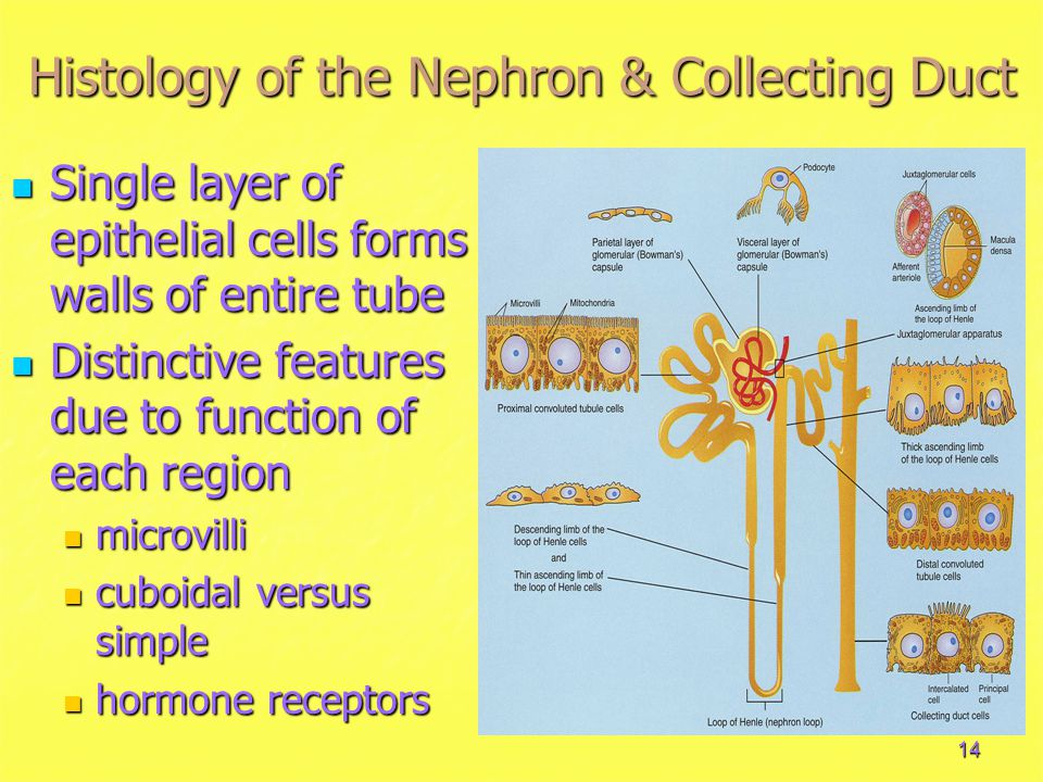 14 Histology of the Nephron & Collecting Duct Single layer of epithelial cells forms walls of entire tube Single layer of epithelial cells forms walls of entire tube Distinctive features due to function of each region Distinctive features due to function of each region microvilli microvilli cuboidal versus simple cuboidal versus simple hormone receptors hormone receptors