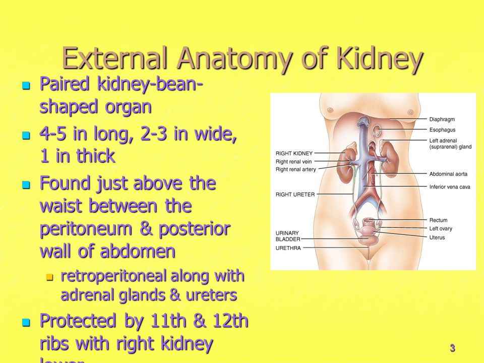 3 External Anatomy of Kidney Paired kidney-bean- shaped organ Paired kidney-bean- shaped organ 4-5 in long, 2-3 in wide, 1 in thick 4-5 in long, 2-3 in wide, 1 in thick Found just above the waist between the peritoneum & posterior wall of abdomen Found just above the waist between the peritoneum & posterior wall of abdomen retroperitoneal along with adrenal glands & ureters retroperitoneal along with adrenal glands & ureters Protected by 11th & 12th ribs with right kidney lower Protected by 11th & 12th ribs with right kidney lower
